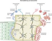 Een mechanobiologische kijk op bindweefsel (AF/BD)