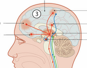 De invloed van triggerpointtherapie op het endogeen pijndempend systeem